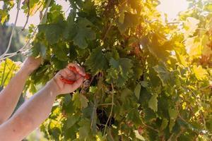 man houdt een schaar vast en snijdt rijpe druiven in zijn wijngaard foto