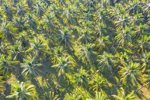 kokosnootplantage groene veld landbouwindustrie landbouw in thailand foto