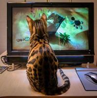 Bengaalse kat zit in de buurt van de computer en kijkt naar de vis. foto