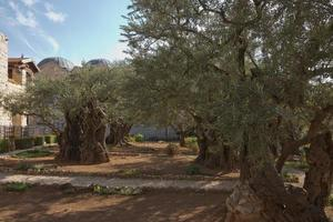 oude olijfbomen in de tuin van getsemane in jeruzalem, israël foto