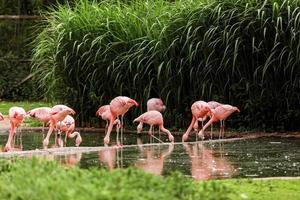 een groep roze flamingo's op jacht in de vijver, oase van groen in stedelijke omgeving, flamingo foto