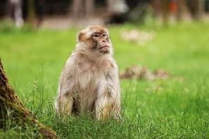 portret van een aap in het park. wilde apenfamilie bij heilig apenbos. apen leven in een natuuromgeving foto