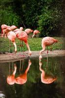 zwerm roze flamingo's in de natuur foto