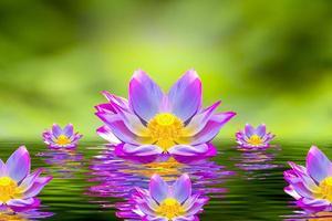 een mooie roze lotusbloem of lotusbloem in het zwembad foto