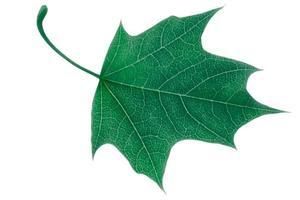groen esdoornblad dat op witte achtergrond wordt geïsoleerd foto