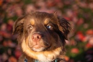 close-up portret van bruine Australische herder puppy met heterochromie in een zonsondergang in het park foto