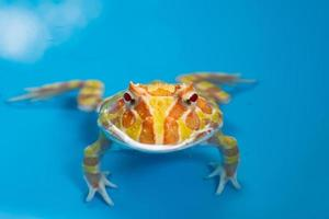 close-up Argentijnse gehoornde kikker met wazige achtergrond foto