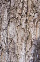 close-up van textuurachtergrond van een oude eikenboomschors foto