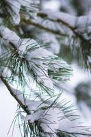 dennennaalden brunch bedekt met sneeuw foto