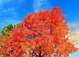 grote rode iep in quince park redmond or foto