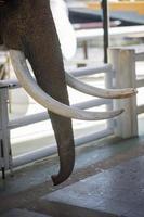 close-up van ivoor in de dierentuin foto