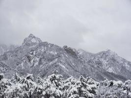 dennenbos onder de sneeuw in het nationale park Seoraksan, Zuid-Korea foto