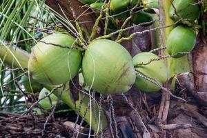 groene kokosnoten aan de boom in rio de janeiro foto