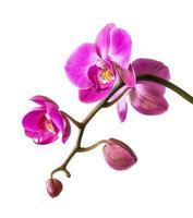 roze orchidee op wit foto
