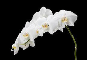 witte orchidee op zwarte achtergrond foto
