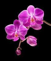 roze orchidee geïsoleerd op zwarte achtergrond foto