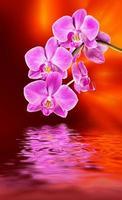 roze orchidee en waterreflectie foto