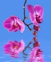 roze orchidee met waterreflectie foto