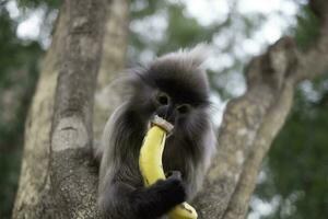 colobinae ook grijze langur die fruit met lange staart aap aan de boom eet foto