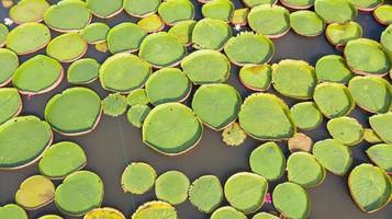 luchtfoto bovenaanzicht van victoria waterlelies foto