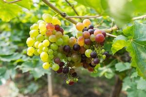 wijngaard met witte wijndruiven op het platteland, zonnige druiventrossen hangen aan de wijnstok foto
