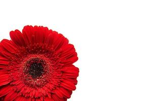 gerbera bloem op een wit foto