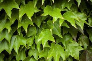 groene klimop muur foto