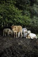 koeien grazen in het veld foto