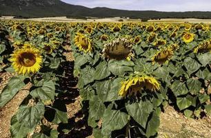 zonnebloemen veld in de natuur foto