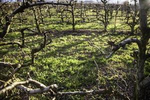 veld van wijngaarden om wijn te maken foto