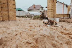 alaska malamute ligt aan de poort van het huis - waakhond foto