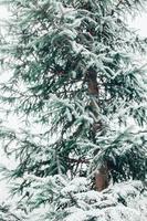 vuren takken bedekt met sneeuw in het winterbos - close-up van groene naalden - bewolkte dag foto