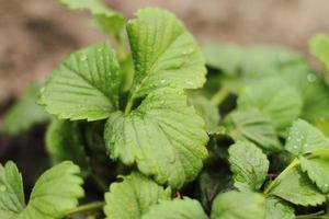 verse aardbeienplant van de boerderij. aardbeienveld. tuin-bed plantage van zoete en gezonde bessen op een zonnige dag. biologisch geteelde plantage. foto