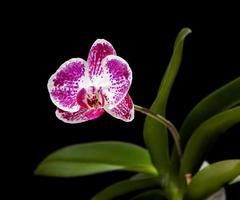 phalaenopsis orchideebloem foto