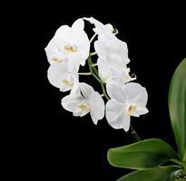 witte phalaenopsis orchidee op zwarte achtergrond foto