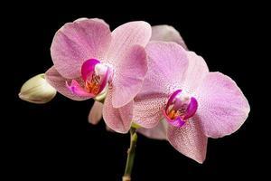 roze orchidee geïsoleerd op zwart foto