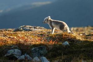 de poolvos in noorwegen foto