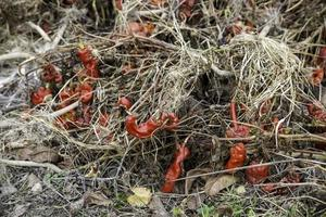 landbouw rode paprika's foto