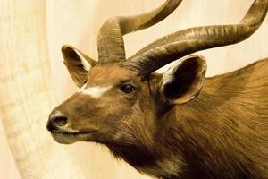 taxidermie van hoofd met hoorn van dieren foto