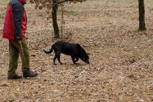 oogst van zwarte truffels met de hulp van een hond in lalbenque, frankrijk foto