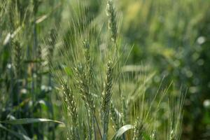 groene tarwe op biologisch boerderijveld foto