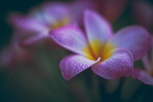 Plumeria bloemen zachte toon foto
