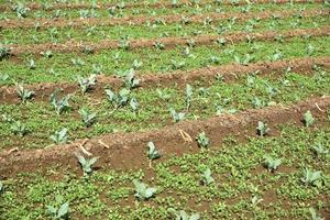 koolveld of boerderij, groene kolen op het gebied van landbouw foto