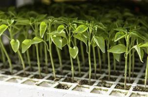 natuurlijke plantenspruiten foto