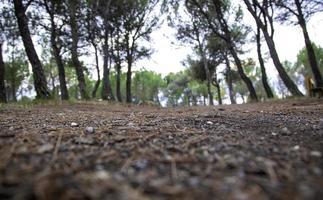 dennenbos natuurlijk foto