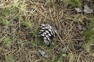 gedroogde ananas in een bos foto