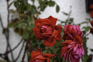 rozenstruik van rode rozen foto