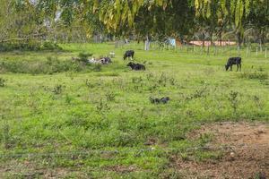 koeien en braziliaanse ossen foto