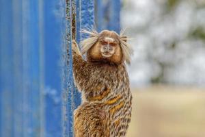 Braziliaanse apen in de open lucht foto