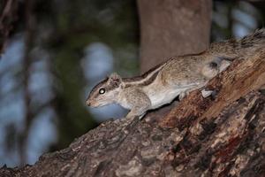 eekhoorn zittend op boom foto